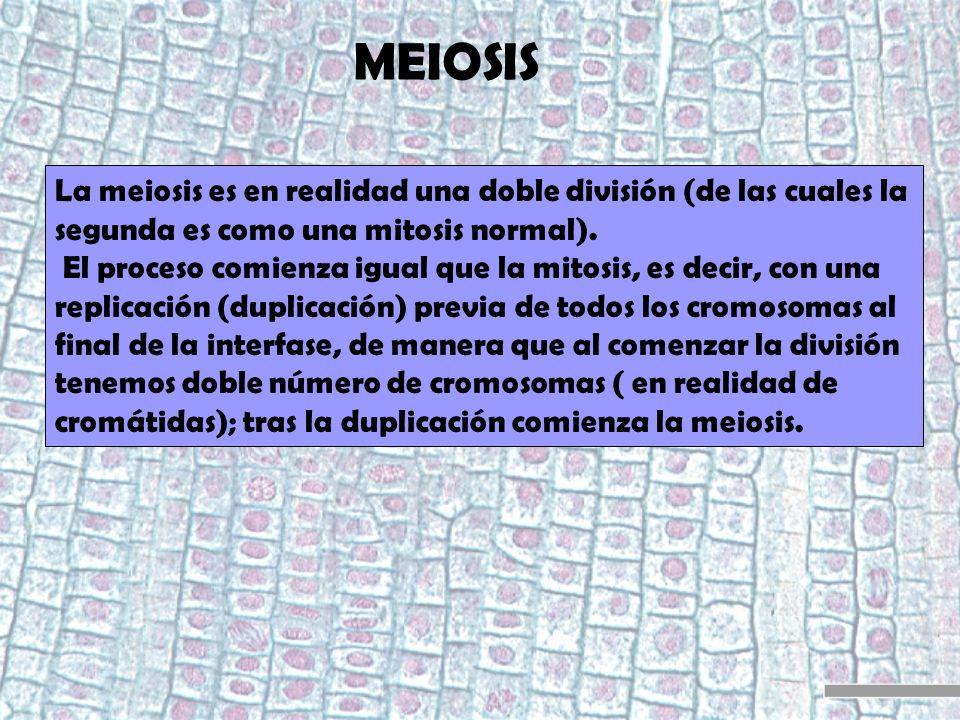 MEIOSIS La meiosis es en realidad una doble división (de las cuales la segunda es como una mitosis normal). El proceso comienza igual que la mitosis,