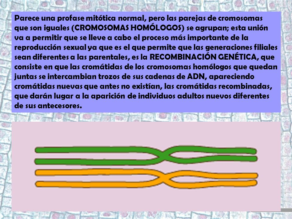 Parece una profase mitótica normal, pero las parejas de cromosomas que son iguales (CROMOSOMAS HOMÓLOGOS) se agrupan; esta unión va a permitir que se