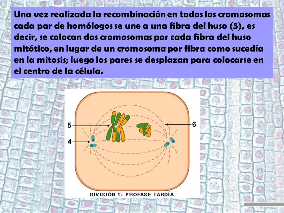 Una vez realizada la recombinación en todos los cromosomas cada par de homólogos se une a una fibra del huso (5), es decir, se colocan dos cromosomas