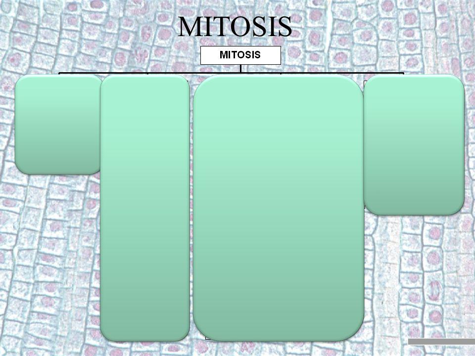 División 2 Es como una mitosis normal que se da simultáneamente en las dos células hijas.