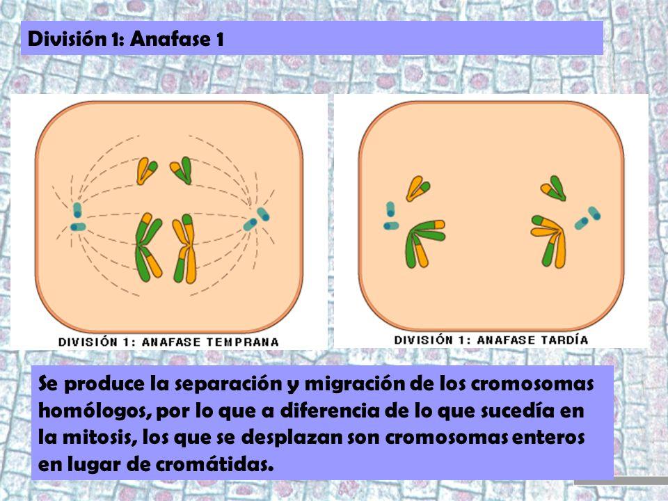División 1: Anafase 1 Se produce la separación y migración de los cromosomas homólogos, por lo que a diferencia de lo que sucedía en la mitosis, los q