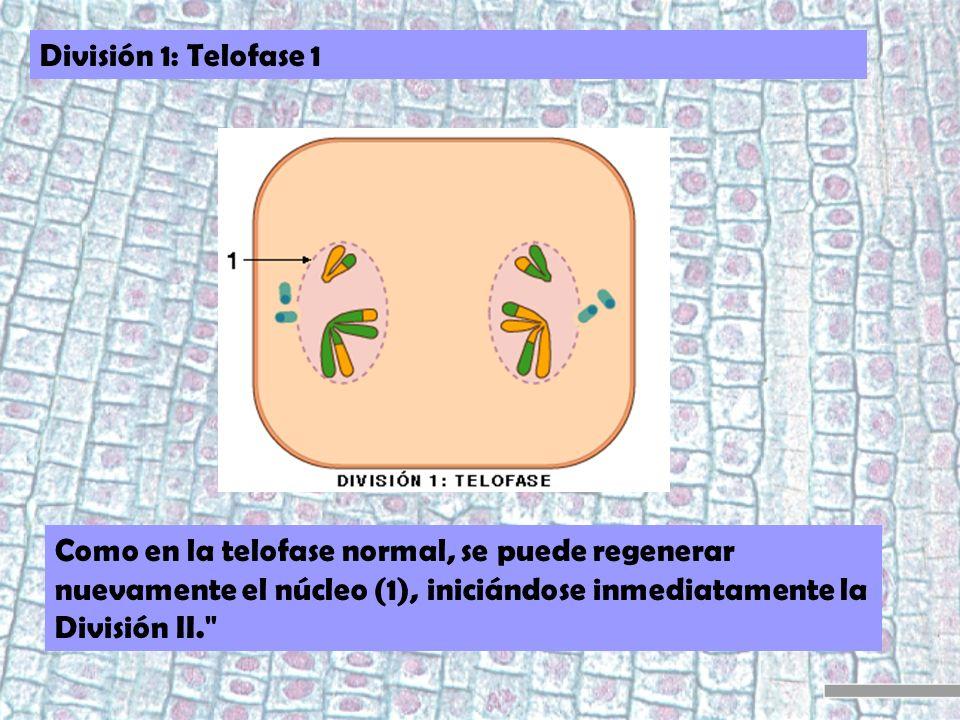 División 1: Telofase 1 Como en la telofase normal, se puede regenerar nuevamente el núcleo (1), iniciándose inmediatamente la División II.