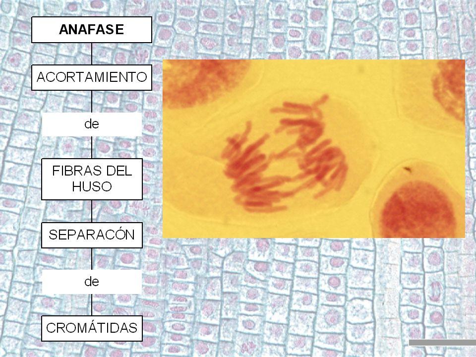 División 1: Profase 1 Es similar a la de mitosis en cuanto a que es una fase de preparación: - desaparece la membrana nuclear (3) - se condensan las cadenas de ADN, apareciendo los cromosomas (1) - se duplican los centriolos (2) y migran a los polos (4) - se forma el huso mitótico (6) - cada par de cromosomas se une a una fibra del huso (5)