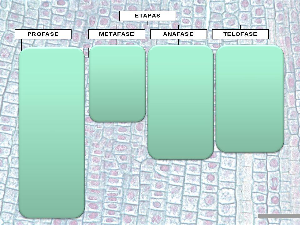 División 1: Metafase 1 Los pares de cromosomas homólogos se sitúan en la parte media de la célula formando la placa ecuatorial (1).