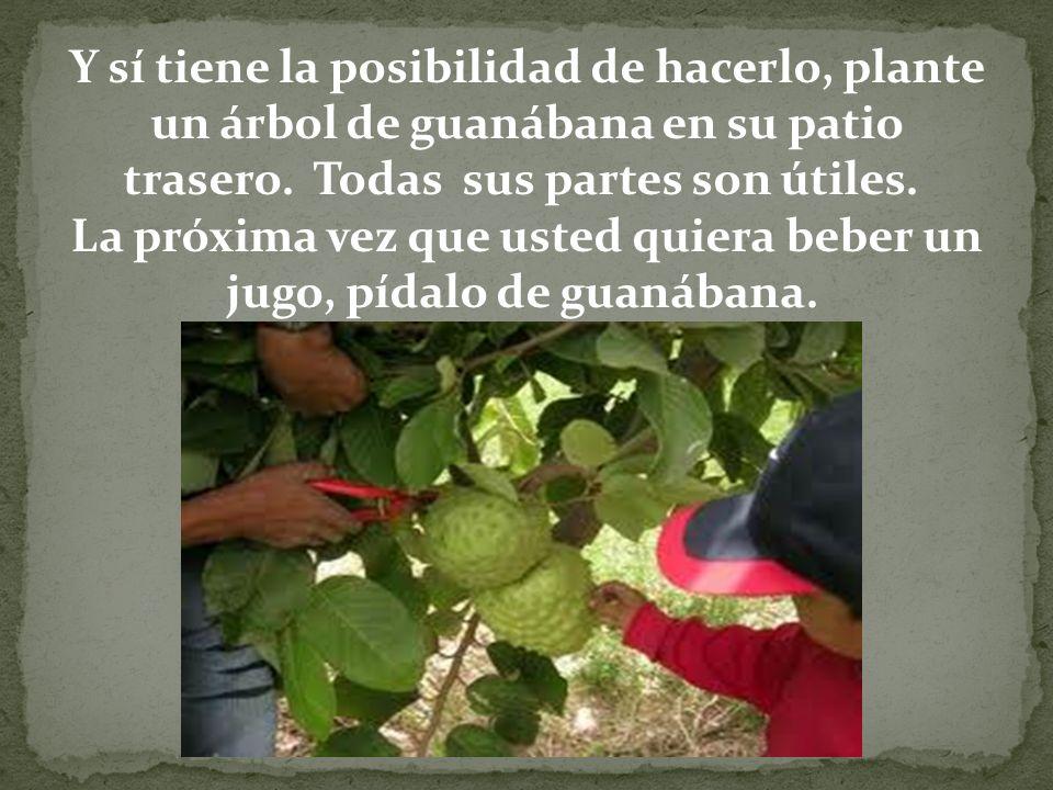 Y sí tiene la posibilidad de hacerlo, plante un árbol de guanábana en su patio trasero. Todas sus partes son útiles. La próxima vez que usted quiera b
