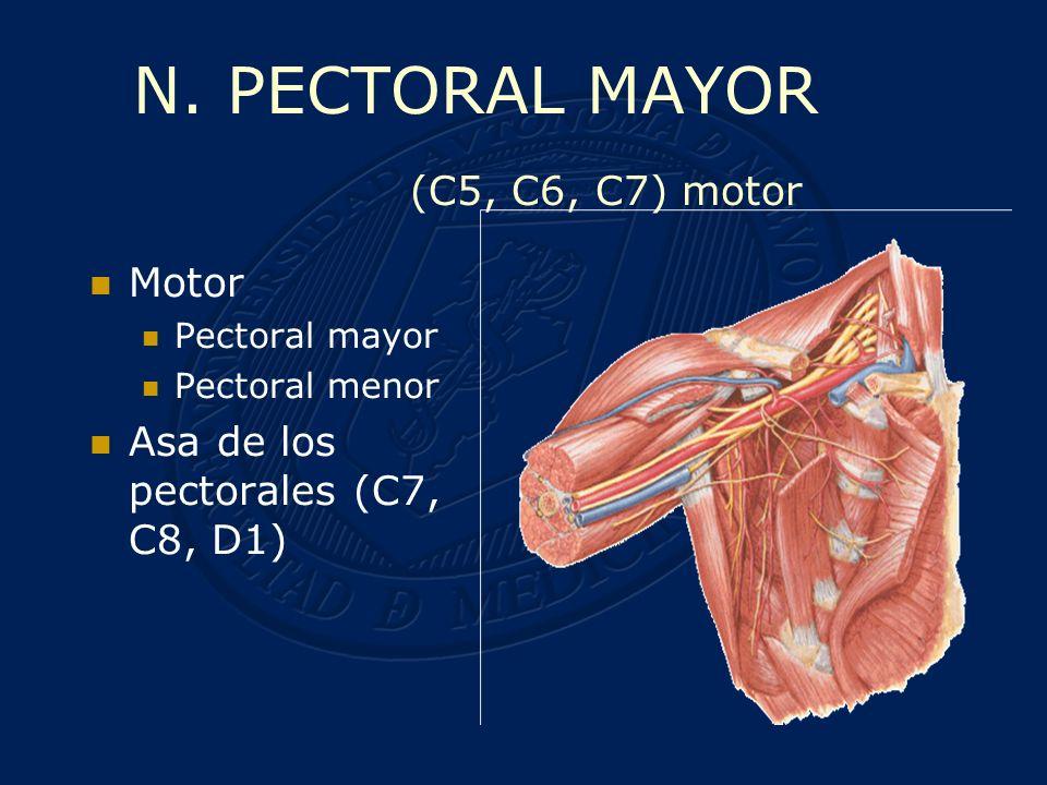 Motor Pectoral menor Pectoral mayor Asa de los pectorales (C7, C8, D1) TRONCO SECUNDARIO ANTEROINTERNO N.