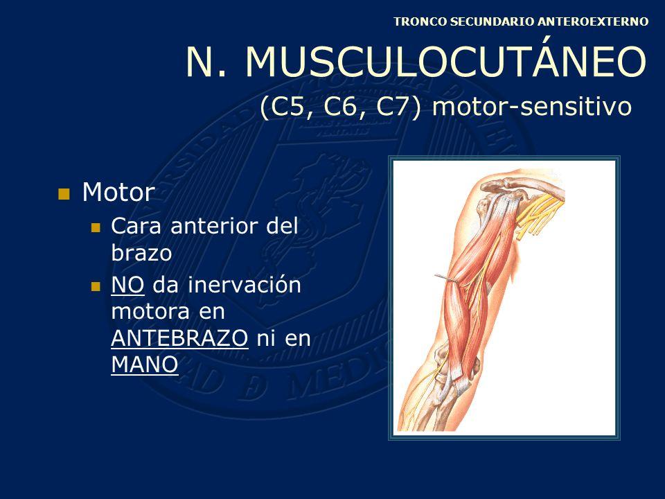 Superficial: porción media del brazo Junto con el intercostohumeral Anterosuperior Posteroinferior Cara interna del brazo TRONCO SECUNDARIO ANTEROINTERNO ACCESORIO DEL BRAQUIAL CUTÁNEO INTERNO (C8, D1) sensitivo