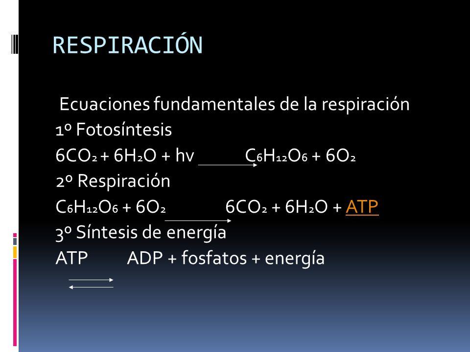 RESPIRACIÓN Ecuaciones fundamentales de la respiración 1º Fotosíntesis 6CO 2 + 6H 2 O + hv C 6 H 12 O 6 + 6O 2 2º Respiración C 6 H 12 O 6 + 6O 2 6CO 2 + 6H 2 O + ATPATP 3º Síntesis de energía ATP ADP + fosfatos + energía