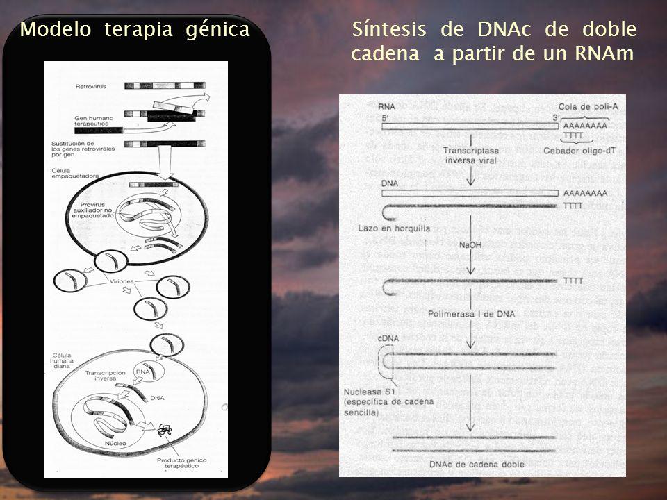 Modelo terapia génica Síntesis de DNAc de doble cadena a partir de un RNAm