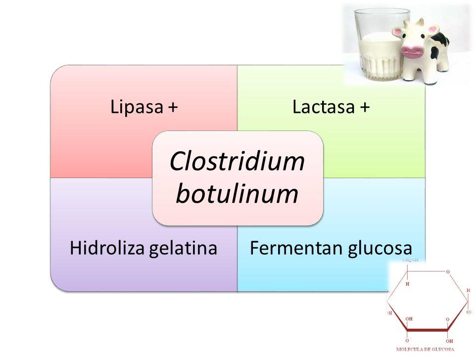 Lipasa +Lactasa + Hidroliza gelatinaFermentan glucosa Clostridium botulinum