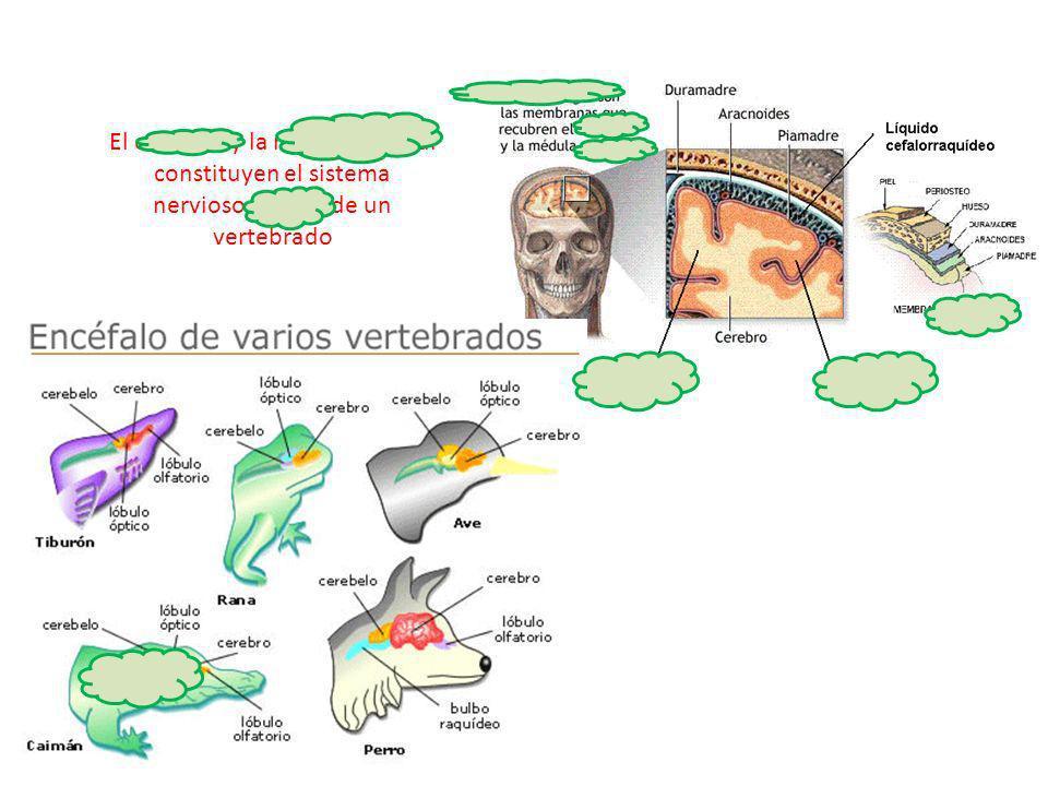 http://3.bp.blogspot.com/- p1E11ss6F0Q/TaGGc46_EUI/AAAAAAAAAEs/- HDbQSBqR-c/s1600/MENINGES+MODI.GIF http://www.educarchile.cl/Us erFiles/P0001/Image/C
