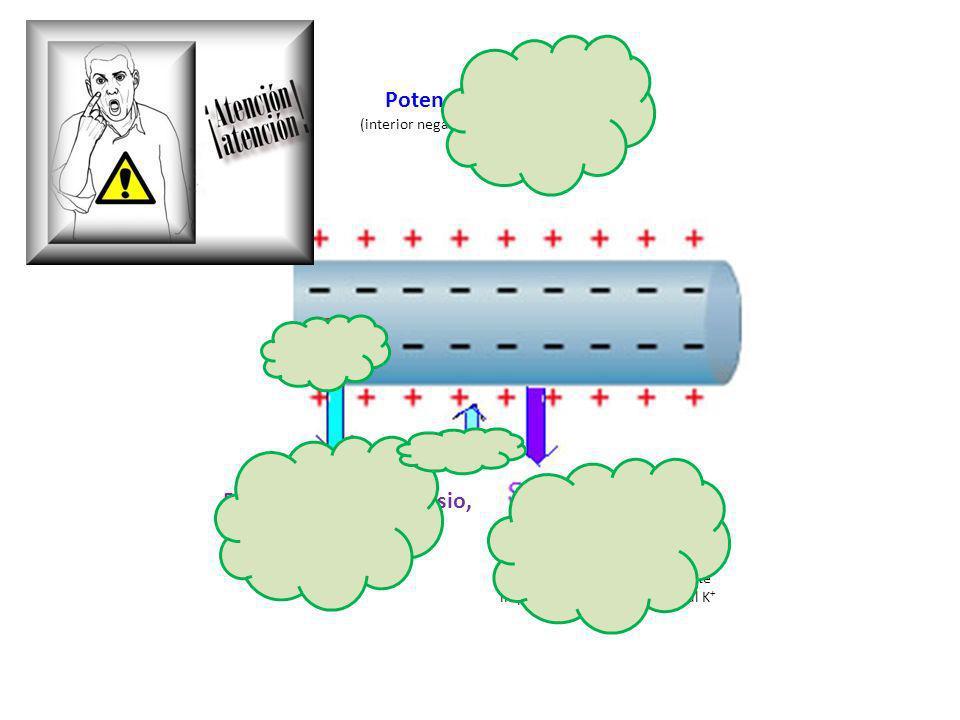 http://docentes.educacion.navarra. es/~metayosa/1bach/rela3.html Potencial de reposo (interior negativo respecto al exterior) Bomba de sodio-potasio,