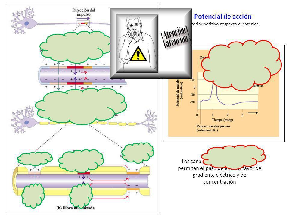 http://docentes.ed ucacion.navarra.es/ ~metayosa/1bach/r ela3.html Potencial de acción (interior positivo respecto al exterior) Los canales voltaje-de
