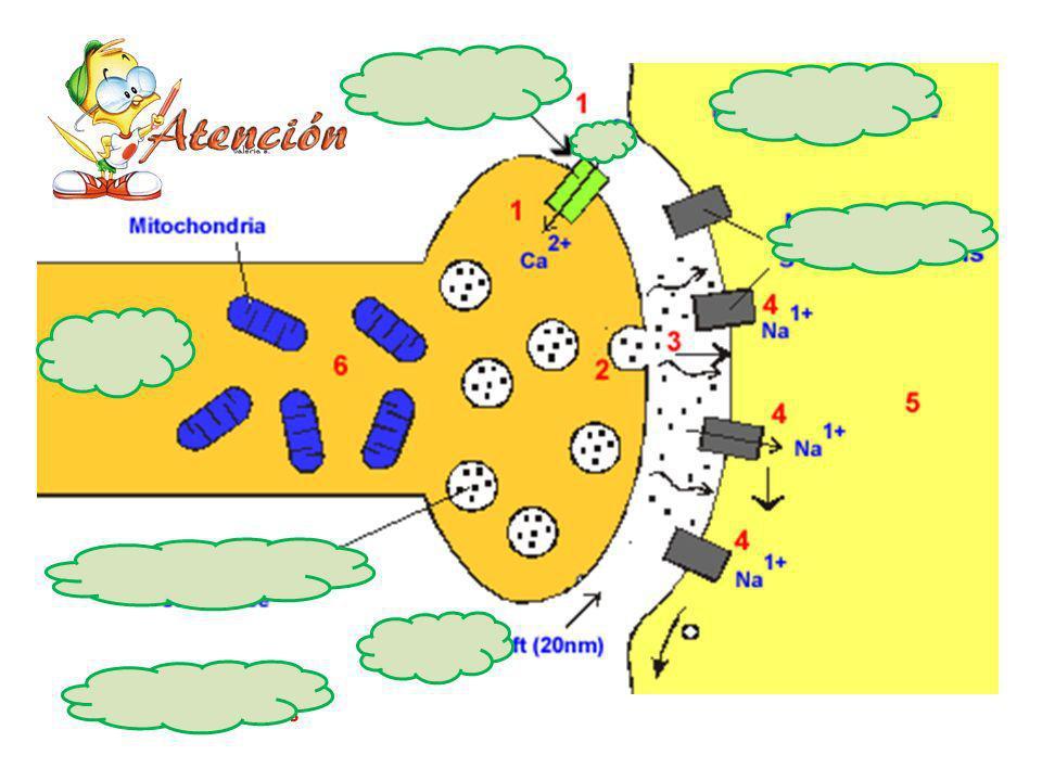 http://click4biology.info/c4b/6/images/6.5/syn apse.gif Liberación de los neurotransmisores h tt p://4.bp.blogs pot.com/- AECdkPpBGoM/ T3O04fYt7cI/AAA