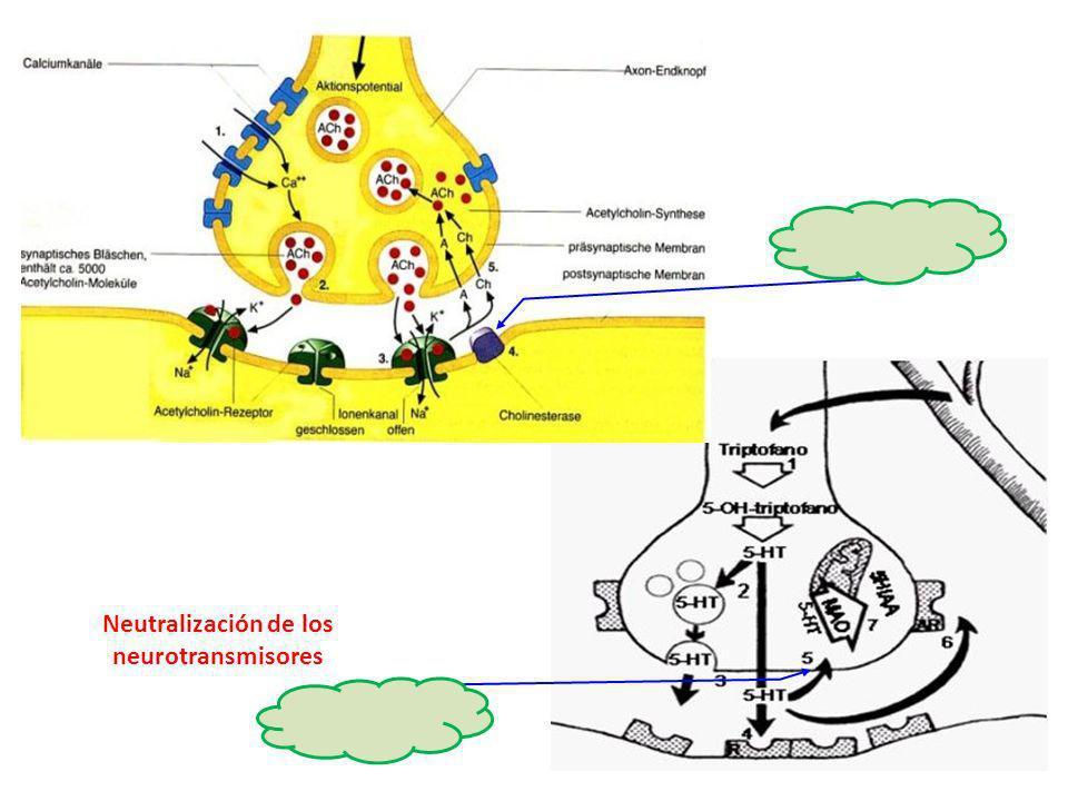 http://www.psic ofarmacos.info/i mages/graficos/s erotonina.jpg http://www.mononeurona.org/img/imgus ers/aarkerio_634.jpg Neutralización de los neurot