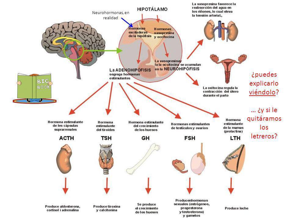 http://1.bp.blogspot.com/-hiSuyoEdN1I/TmbZ- Tfl5gI/AAAAAAAACjs/hw2G0c318z4/s1600/hip ofisiscatala3es+%25281%2529.jpg Neurohormonas, en realidad http:/