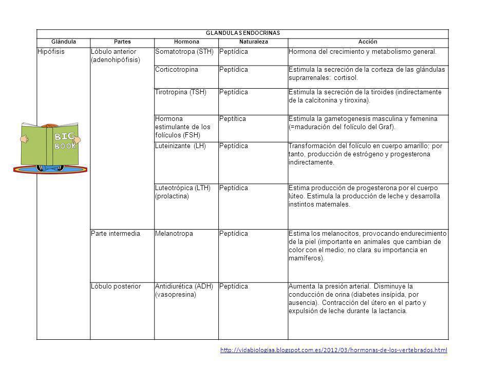 GLANDULAS ENDOCRINAS GlándulaPartesHormonaNaturalezaAcción HipófisisLóbulo anterior (adenohipófisis) Somatotropa (STH)PeptídicaHormona del crecimiento