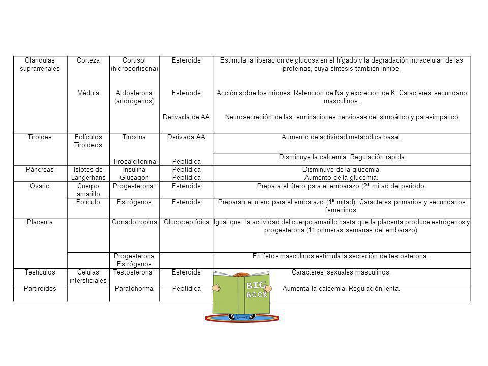 Glándulas suprarrenales Corteza Médula Cortisol (hidrocortisona) Aldosterona (andrógenos) Esteroide Derivada de AA Estimula la liberación de glucosa e