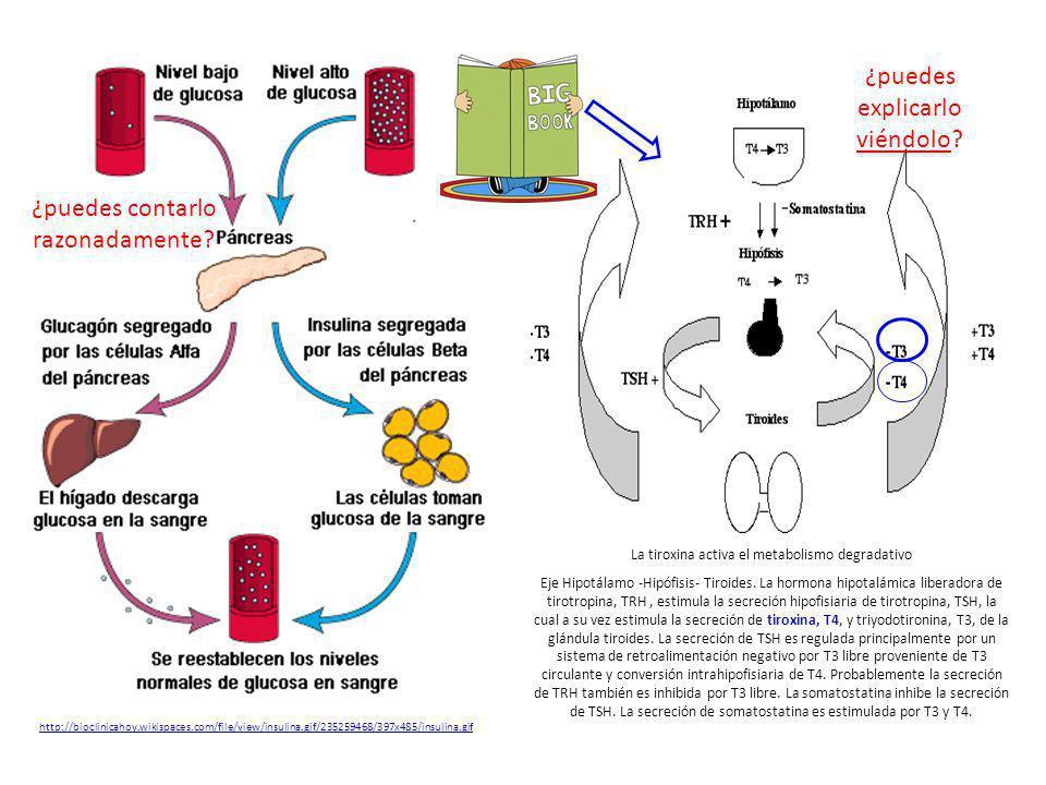 http://escuela.med.puc.cl/paginas/ops/curs o/lecciones/leccion08/m3l8leccion.html http://bioclinicahoy.wikispaces.com/file/view/insulina.gif/235259468