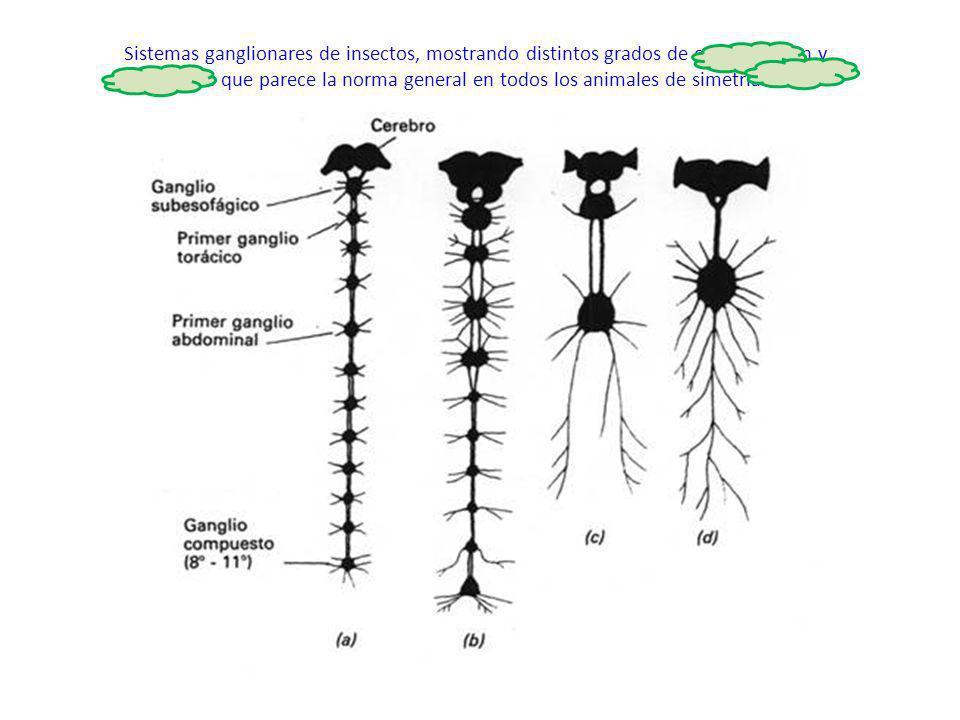 http://ocwus.us.es/produccion- vegetal/sanidad-vegetal/tema_3/page_07.htm Sistemas ganglionares de insectos, mostrando distintos grados de centralizac