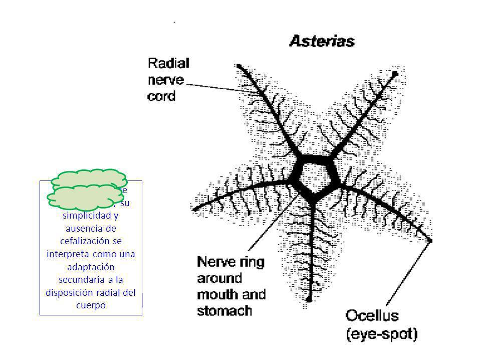 http://3.bp.blogspot.com/-zPkR- 0hJPLc/TbBFHfTH9LI/AAAAAAAAAOc/RtiN3uHI pYY/s1600/radisyml.gif Sistema radial de equinodermos; su simplicidad y ausenc