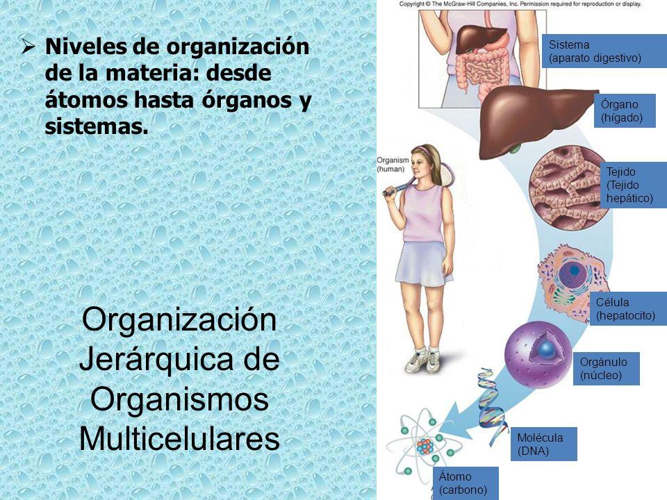 Sistema (aparato digestivo) Órgano (hígado) Tejido (Tejido hepático) Célula (hepatocito) Orgánulo (núcleo) Molécula (DNA) Átomo (carbono) Organización