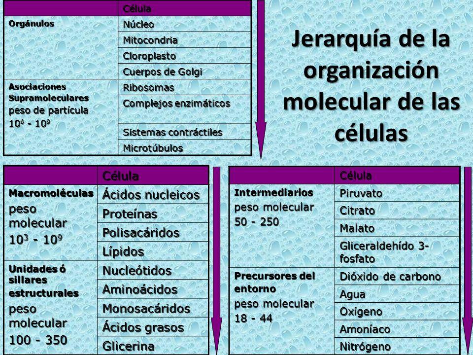 Jerarquía de la organización molecular de las células Célula OrgánulosNúcleo Mitocondria Cloroplasto Cuerpos de Golgi AsociacionesSupramoleculares pes
