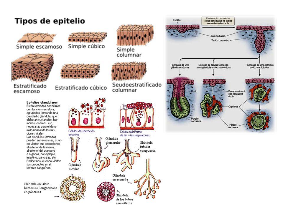 http://webs.uvigo.es/mmegias/a-imagenes- grandes/epitelio_glandula_tiroides.php?pagin a=20 Epitelio glandular endocrino; glándula tiroides de ratón