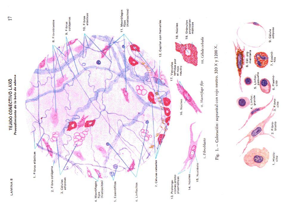 http://www.fcnym.unlp.edu.ar/catedras/histol ogia/archivos%20MatDid/Atlas%20Di%20Fiore /008.gif