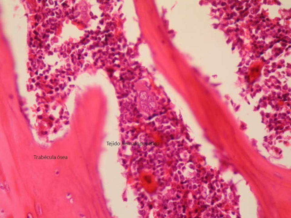 http://tejidooseo.galeon.com/productos10322 28.html Trabécula ósea Tejido hematopoyético