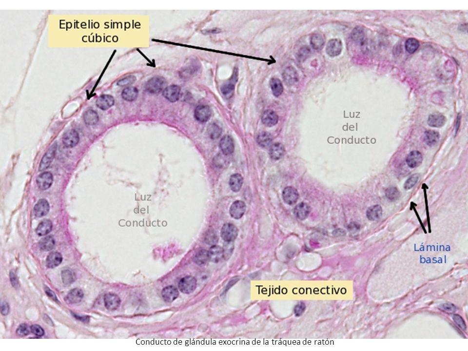 http://webs.uvigo.es/mmegias/a-imagenes-grandes/epitelio_simple_cubico.php?pagina=20 Conducto de glándula exocrina de la tráquea de ratón