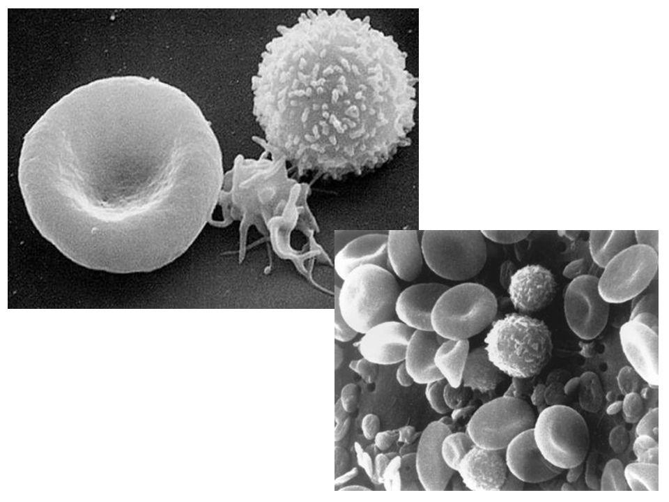 http://leavingbio.net/Blood_files/image010.j pg http://histology- world.com/photoalbum/alb ums/userpics/normal_SEM- blood.jpg