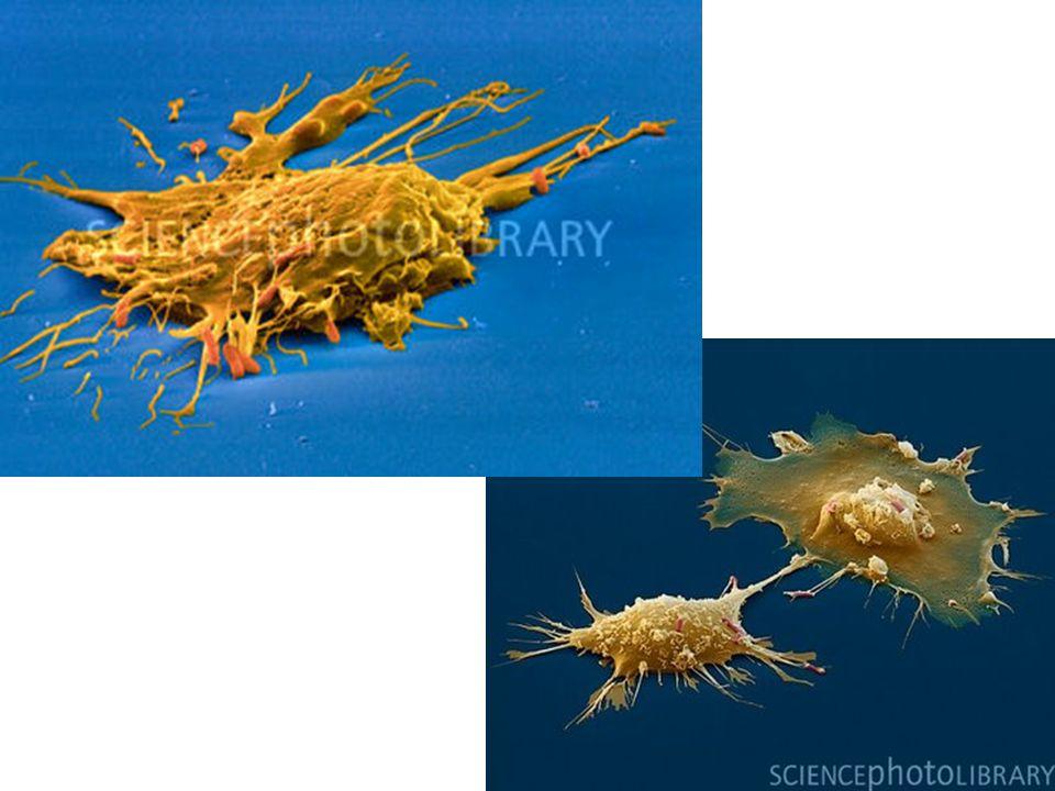 http://3.bp.blogspot.com/_pFebdDSF8pk/STSC OOXsOXI/AAAAAAAAACk/bzXhhfkdYb8/s400/P 276205-Macrophages_engulfing_E._coli,_SEM- SPL.jpg http://www.scienc