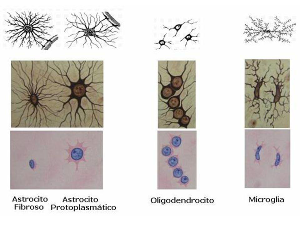 http://www.med.ufro.cl/Recursos/neuroanato mia/archivos/3_neurohistologia_archivos/imag e3281.jpg