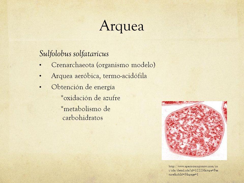 Arquea Sulfolobus solfataricus Crenarchaeota (organismo modelo) Arquea aeróbica, termo-acidófila Obtención de energía *oxidación de azufre *metabolism