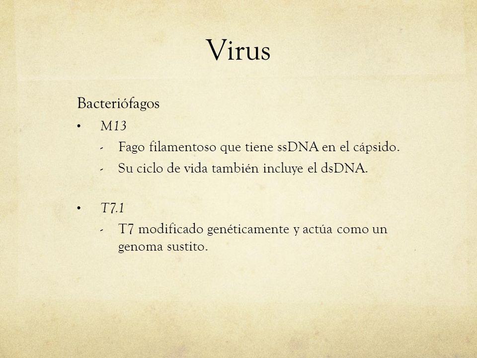 Virus Bacteriófagos M13 - Fago filamentoso que tiene ssDNA en el cápsido. - Su ciclo de vida también incluye el dsDNA. T7.1 - T7 modificado genéticame