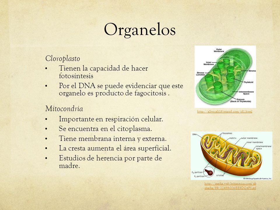 Organelos Cloroplasto Tienen la capacidad de hacer fotosíntesis Por el DNA se puede evidenciar que este organelo es producto de fagocitosis. Mitocondr