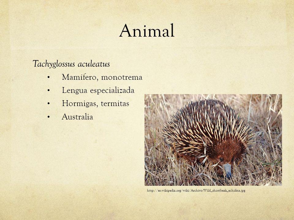 Animal Tachyglossus aculeatus Mamífero, monotrema Lengua especializada Hormigas, termitas Australia http://es.wikipedia.org/wiki/Archivo:Wild_shortbea