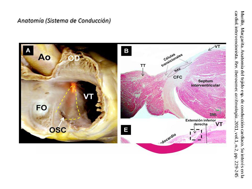 Anatomía (Sistema de Conducción) Murillo, Margarita. Anatomía del tejido esp. de conducción cardiaco. Su interés en la cardiol. intervencionista. Rev.