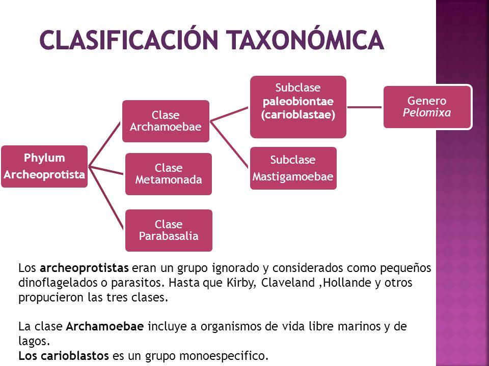 Phylum Archeoprotista Clase Archamoebae Subclase paleobiontae (carioblastae) Genero Pelomixa Subclase Mastigamoebae Clase Metamonada Clase Parabasalia