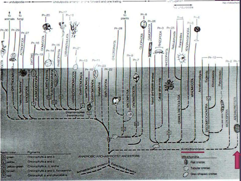 Debido a la características del genero es considerado como de los grupos mas primitivos dentro de los eucariotas vivos