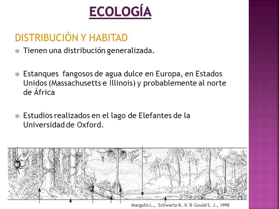 DISTRIBUCIÓN Y HABITAD Tienen una distribución generalizada. Estanques fangosos de agua dulce en Europa, en Estados Unidos (Massachusetts e Illinois)