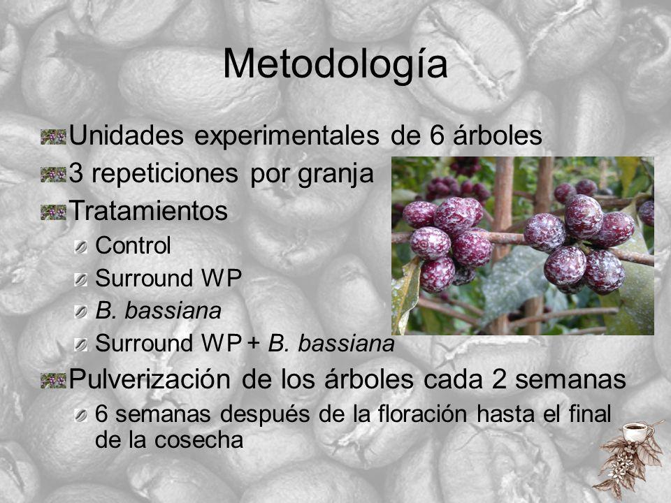 Metodología Unidades experimentales de 6 árboles 3 repeticiones por granja Tratamientos Control Surround WP B. bassiana Surround WP + B. bassiana Pulv