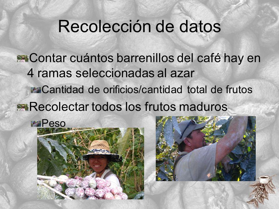 Recolección de datos Contar cuántos barrenillos del café hay en 4 ramas seleccionadas al azar Cantidad de orificios/cantidad total de frutos Recolecta