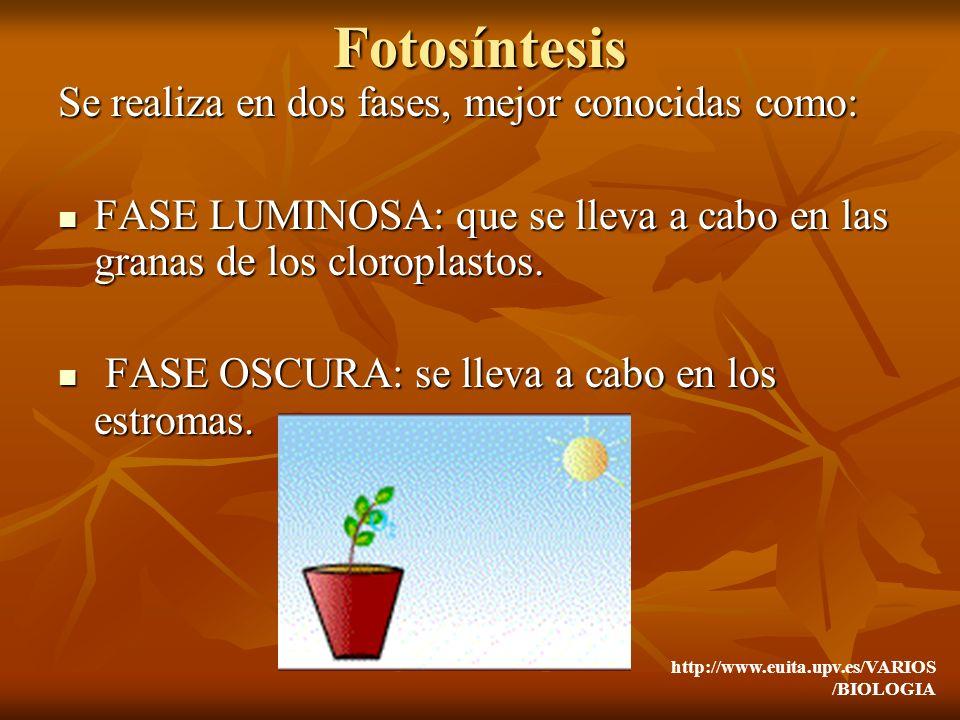 Fotosíntesis Se realiza en dos fases, mejor conocidas como: FASE LUMINOSA: que se lleva a cabo en las granas de los cloroplastos. FASE LUMINOSA: que s