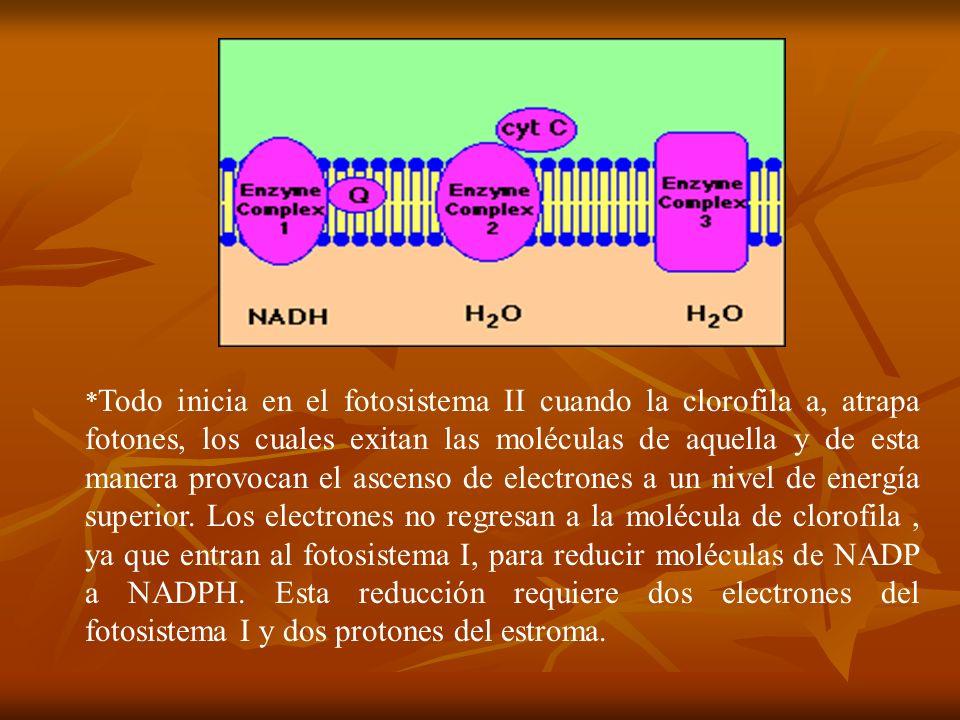 * Todo inicia en el fotosistema II cuando la clorofila a, atrapa fotones, los cuales exitan las moléculas de aquella y de esta manera provocan el asce