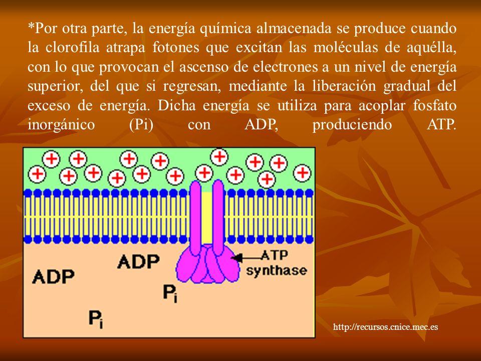 *Por otra parte, la energía química almacenada se produce cuando la clorofila atrapa fotones que excitan las moléculas de aquélla, con lo que provocan
