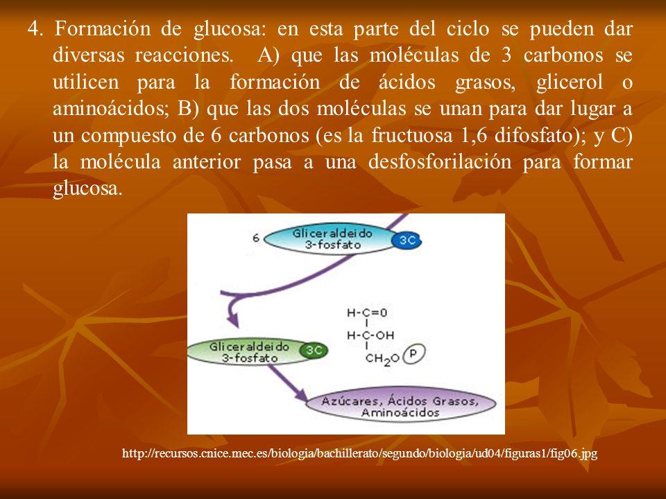 4. Formación de glucosa: en esta parte del ciclo se pueden dar diversas reacciones. A) que las moléculas de 3 carbonos se utilicen para la formación d