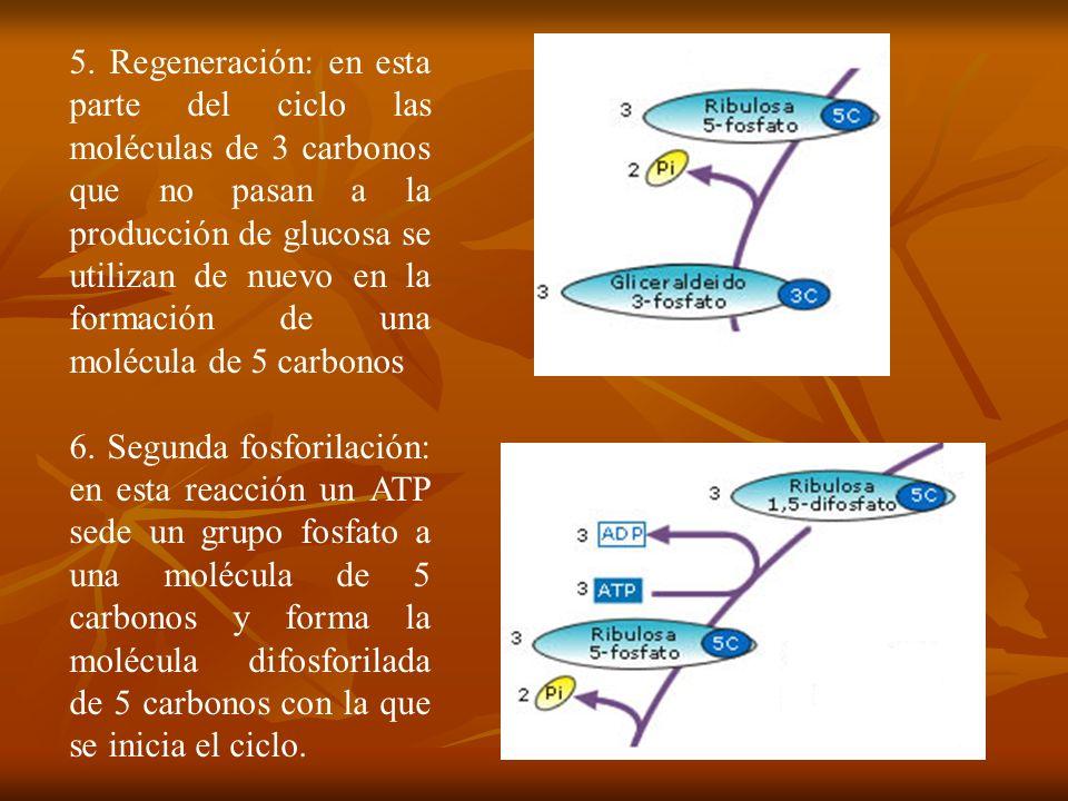 5. Regeneración: en esta parte del ciclo las moléculas de 3 carbonos que no pasan a la producción de glucosa se utilizan de nuevo en la formación de u