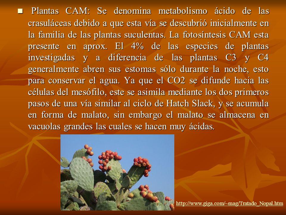Plantas CAM: Se denomina metabolismo ácido de las crasuláceas debido a que esta vía se descubrió inicialmente en la familia de las plantas suculentas.